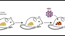 Schematic depiction of the experimental workflow for developing humanized mice. Figure by Florian Douam and Alexander Ploss.