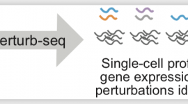 Britt Adamson tackles hurdles that have limited use of Perturb-seq