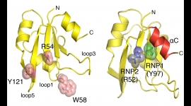 Two views of one of Glo's RNA-binding domains highlight the amino acids required for binding G-tract RNA (left) and U-A stem structures (right). Tamayo et al., 2017
