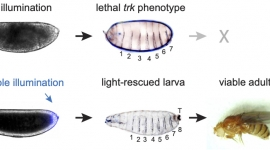Johnson and colleagues show that activation of Ras/Erk signaling by light stimulation of the OptoSOS at the anterior and posterior embryonic poles rescues embryonic development in animals otherwise deficient in terminal patterning genes. Image credit: Johnson et al.