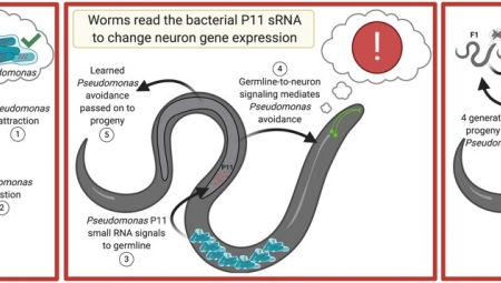 Murphy lab publishes study of learned avoidance of bacteria