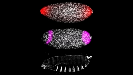 Fruit-fly embryos (above) showed how signals at the early stage of development (red in top photo) activate genes (purple in middle photo) and pattern structures in the fly larva (bottom photo.)