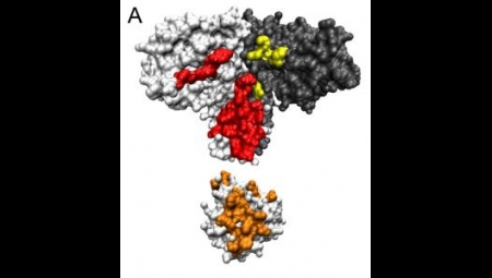 Researchers can now identify which proteins will interact just by looking at their sequences. Pictured are surface representations of a histidine kinase dimer (HK, top) and a response regulator (RR, bottom), two proteins that interact with each other to carry out cellular signaling functions. (Image based on work by Casino, et. al. credit: Bitbol et. al 2016/PNAS.)